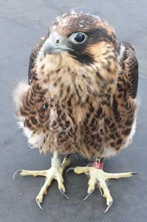 FalconH31